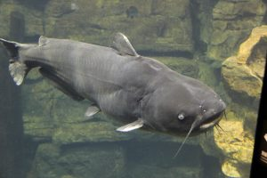 Blue_catfish_tenn_aquarium