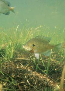 Bluegill_fish_underwater